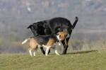beagle_02